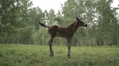 Foal and horse grazing Stock Footage