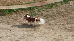 Small Dog with Brown and White Spots Being Walked in St Augustine Florida Stock Footage