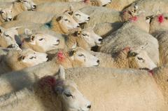 Flock of sheep standing together Stock Photos