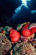 Anemone fish, St John's Reef, Red Sea, Egypt Stock Photos
