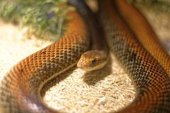 Snake in the terrarium - Coastal taipan - stock photo