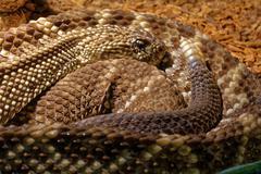 Snake in the terrarium - Tropical rattlesnake - stock photo