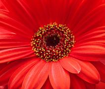 Stock Photo of red gerbera flower closeup