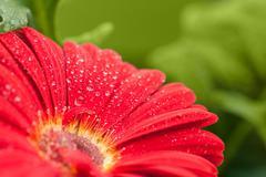 wet red gerbera flower closeup - stock photo