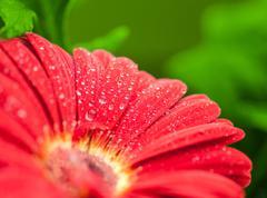 Stock Photo of wet red gerbera flower closeup