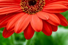 red gerbera flower closeup - stock photo