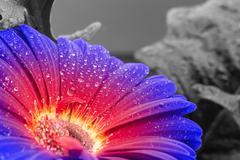 Wet gradient gerbera flower closeup Stock Photos