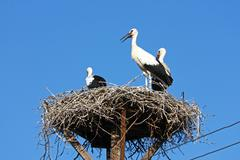 Stock Photo of Storks in the nest