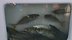 Yakkas for live bait in livewell Stock Footage