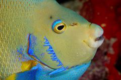 Closeup of Blue Angelfish Stock Photos
