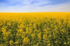 yellow rapeseed field in blossom - stock photo