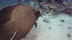 Napoleon Fish on Coral Reef Stock Footage