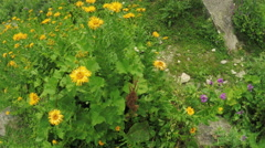 Calendula officinalis in an alpine meadow - stock footage