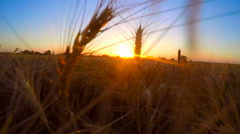 Moving through Heads of Wheat at Sunset Stock Footage