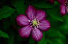 Clematis - the king among the vines Stock Photos