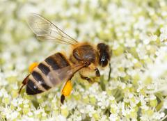 bee (Apis mellifera) collects pollen - stock photo