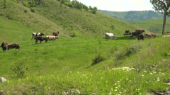 Buzau - Romania - rural landscape with cows Stock Footage