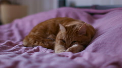 Red Cat Lies on a Bed Pulling Paws Stock Footage