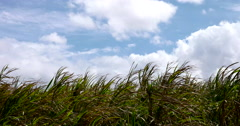 4k HD: Sugar Cane Fields Swaying in the Afternoon Breeze Stock Footage