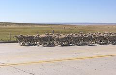 Herd of Sheep Heading Downa Road in Patagonia Stock Photos