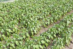 Rows of sweet pepper in garden - stock photo