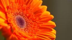 Beautiful sunny flower orange gerbera Arkistovideo