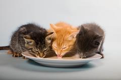 Three kittens drinking milk from saucer Stock Photos