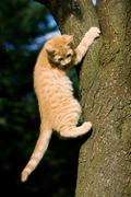 Stock Photo of Ginger cat gripping tree