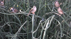 Birds Perch On Twisted Tangled Euphorbia Plant Branches Stock Footage