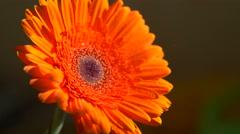 Beautiful sunny flower orange gerbera - stock footage