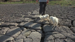 Man Walks Two Dogs During Prolonged Drought Stock Footage