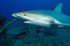 Caribbean Reef Shark and Wreck - stock photo