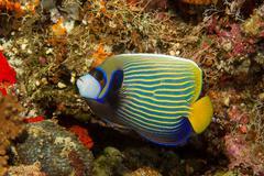 Emperor angelfish, Maldives Stock Photos