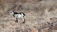 Goat grazing in a field in Africa Cape Verde Stock Footage