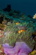 Anemonefish and Anemone Stock Photos