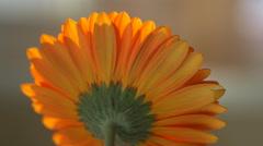 Beautiful sunny flower orange gerbera Stock Footage