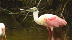 Roseate spoonbill drinking water Stock Footage