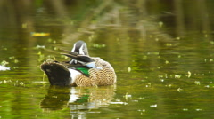 Blue-winged Teal Stock Footage