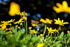 Monarch Butterfly on a yellow flower in Pacific Grove, California - stock photo