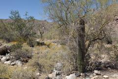 Small Saguaro Cactus in the Arizona Sonoran Desert sheltered by a tree - stock photo