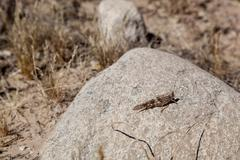 Pallid winged grasshopper blending in on a rock in the Sonoran desert of Arizona - stock photo