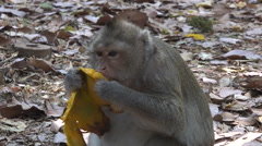 Macaque eating mango Stock Footage