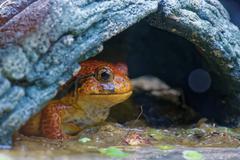 Tomato frog - stock photo