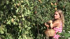 Worker, harvesting pear fruit Stock Footage