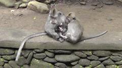 Monkey family,Ubud Monkey Forest,Bali Stock Footage