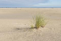 Beach with a plant marram grass. Stock Photos