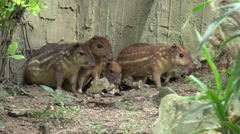 Group Cuniculus paca in the zoo. Stock Footage