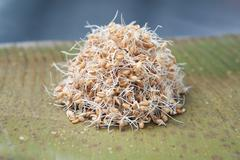 Sprouted/germinated wheat, a live food Stock Photos