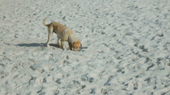 Funny dog digging a hole on the beach Stock Footage