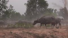 water buffalos in the dust - stock footage